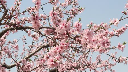 Peach Blossoms in the Peach Field Stock Footage