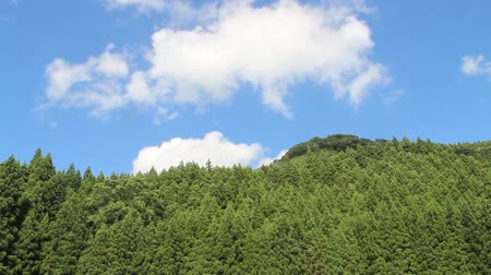 Cedar forest and blue sky