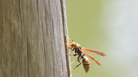 paper wasp on a stem