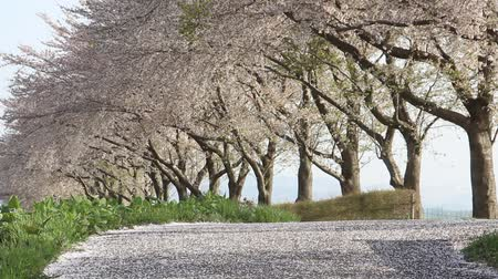 sallama : Row of cherry trees in Japan