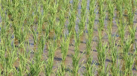 sallama : Rice ears swaying in the wind