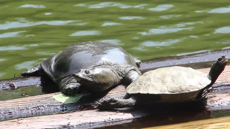 キャセロール : Turtle and Soft-shelled turtle basking in the sun 動画素材