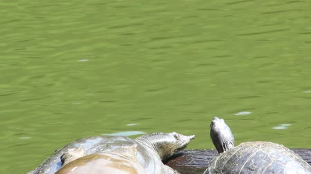 Turtle and Soft-shelled turtle basking in the sun Stock Footage