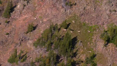untamed : aerial shot of mountain goat herd