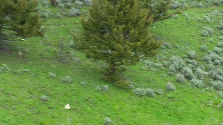 ormanda yaşayan : Wolves near Paradise Valley Montana, aerial shot into forest Stok Video