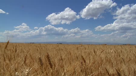 polního : Wheatfield, blue skies, and puffy clouds