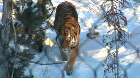 tigris : tiger in the snow