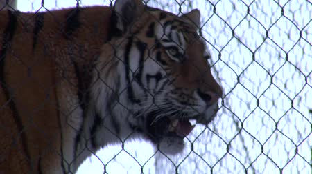 tigris : tiger behind chain-link fence