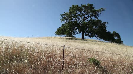 farpado : Oak tree in field with barbed wire fence Stock Footage