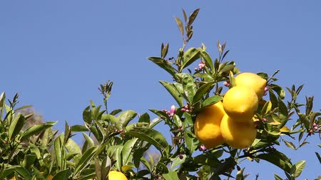 limão : lemons on lemon tree with blue sky Stock Footage