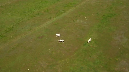 trawa : Aerial shot of three white horse in grassy green field Wideo