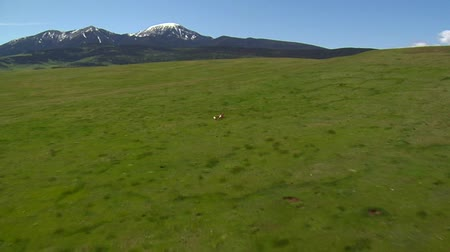 antilop : Aerial shot of antelope running on grassy hill Stok Video