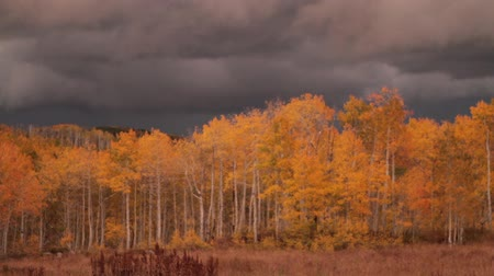 блестящий : autumn aspen grove at sunset with stormy skies and lightning