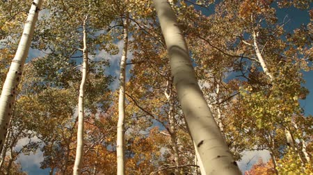блестящий : slide rail shot looking up into Aspens