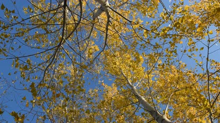osika : The autumn leaves of the aspen tremble in the wind on a clear day. A view from below on the trees. Dostupné videozáznamy