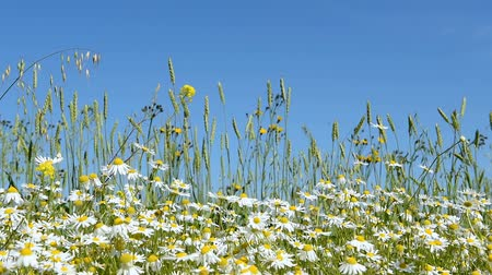 margaréta : Chamomile flowers are heard in the wind on the field. A clear summer day.