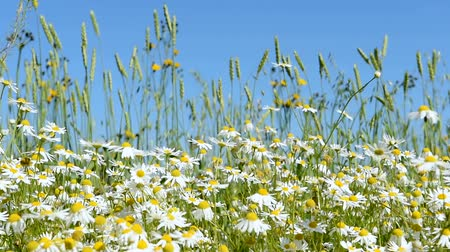 camomila : Chamomile flowers are heard in the wind on the field. A clear summer day.
