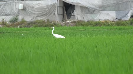 a heron walking in a paddy field Stok Video