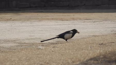 magpies build houses