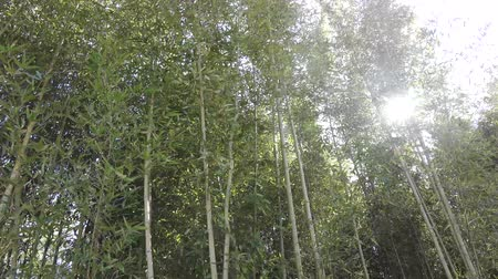 bamboo swaying in the wind