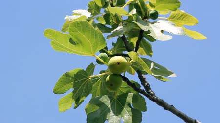 szellő : Figs on a tree in summer breeze. HD 1080i.