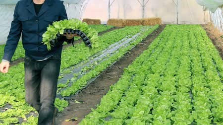 marul : Organic farmer holding tray of seedlings in greenhouse. HD 1080i.  Stok Video