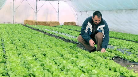 marul : Growing fresh butter lettuce in a greenhouse.