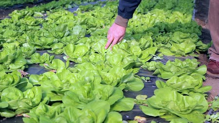 marul : Growing fresh butter lettuce in a greenhouse. HD1080i.
