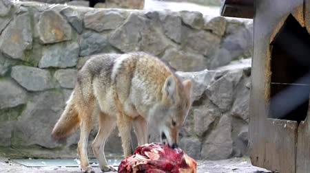 hunting dog : Coyote eating meat.