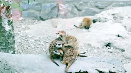 alarmed : Meerkat (Suricata suricatta) family warming up together.