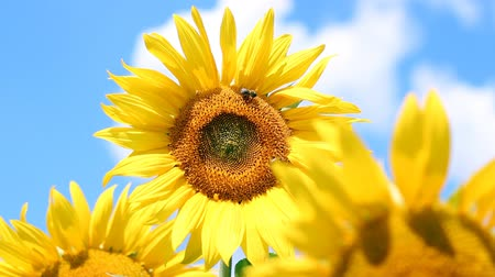 girassóis : Colorful video of the sunflower against blue sky. HD1080i. Vídeos