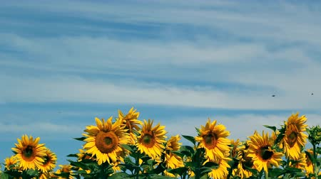 organic : Colorful video of the sunflower field against blue sky with withe clouds. HD1080i.