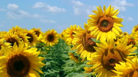 girassóis : Sunflowers in full bloom dancing in the wind. HD 1080i.