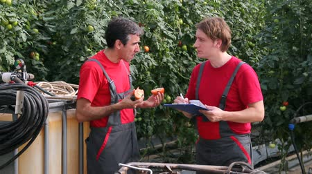 farm equipment : Two man tasting tomato and checking quality in greenhouse. HD1080p. Stock Footage