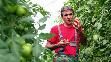 rajčata : Portrait of a man at work in commercial greenhouse. Selective focus. HD1080p.