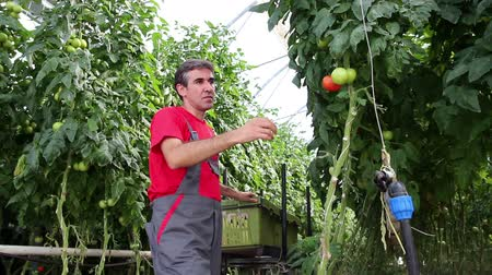 rajčata : Farmer Picking Tomato in Commercial Greenhouse