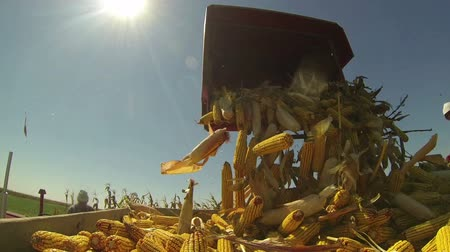 colheita : Harvesting Corn Cob. Slow Motion.