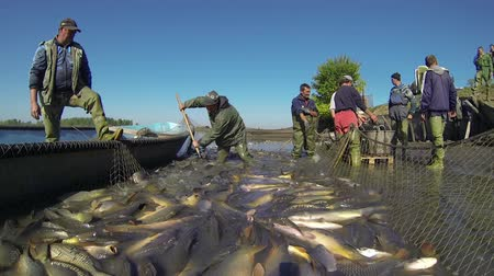 fish farm : Harvesting Fish at Fish Farm. Teamwork of fishermen on the commercial freshwater fish farm. Stock Footage