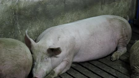 svině : Swine Flu. A pig laying in a pig pen. Intensive pig farming. Pig farm. Dostupné videozáznamy