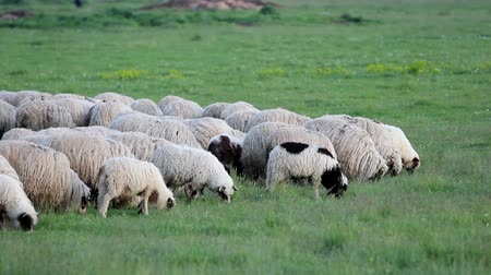 fome : Sheep Herd