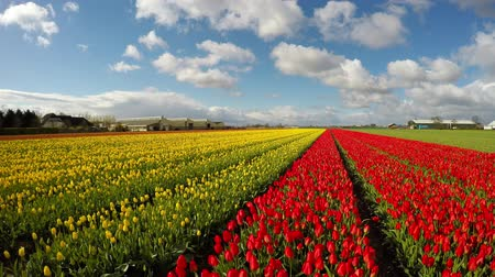 tulipany : Blue sky and Tulip Field in Holland Wideo