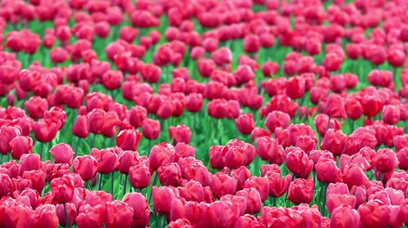 tulipany : Flower Bed Of Red Tulips