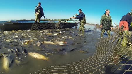 industrial fishing : Workers Harvest Freshwater Fish From a Fish Farm Pond Stock Footage