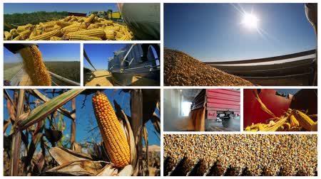 treyler : Corn Growing And Harvesting Multi-screen Stok Video