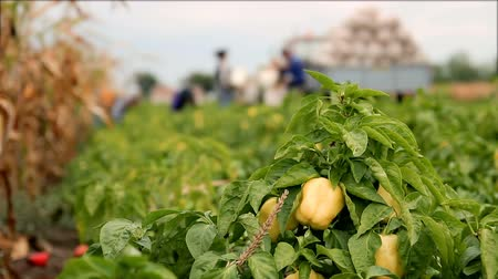 plain : Harvesting Yellow and Red Bell Peppers in a Field