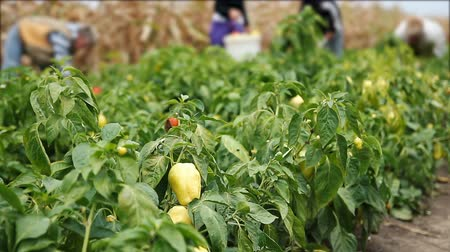 home grown : Female Workers Picking Peppers