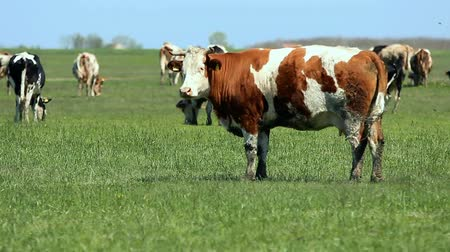 drove : Cows Grazing on a Green Meadow