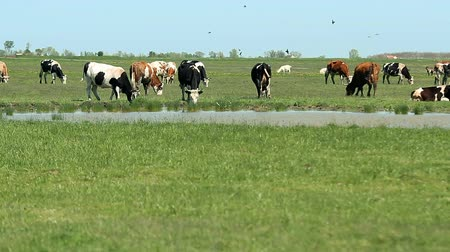 drove : Cows at a Watering Place
