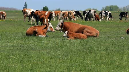 копытное : Cow, Bull and Calf Resting and Relaxing in the Meadow