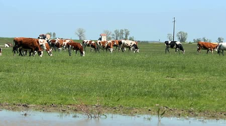 drove : Herd Of Cows Grazing On Green Pasture Stock Footage